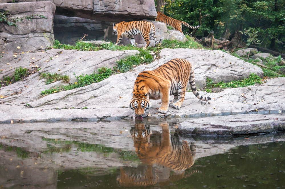 Sunderban tiger